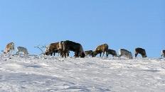 oleni_zimoj