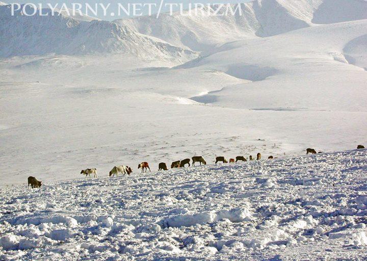 Северные олени пасутся на склонах гор