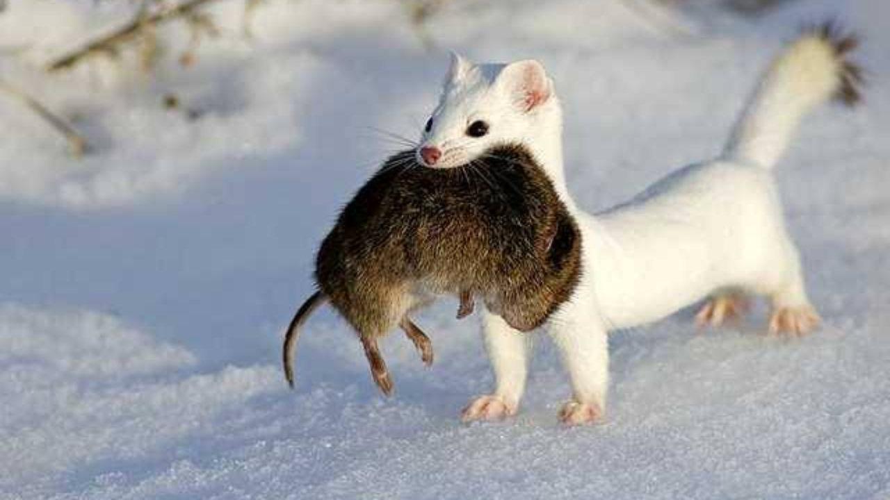 Зимний горностай с добычей