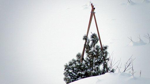 Кедровая сосна у подножия горнолыжки. 20 декабря 2015