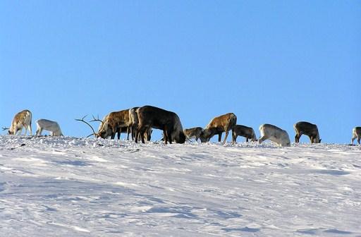 Особенно туго северным оленям зимой