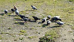 Популяция голубей на 110-м. Сентябрь 2014